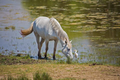 White camargue horses and cattle erget by the lagoon. White camargue horses and cattle egret (Bubulcus ibis) in the lagoon. An ancient breed of horse indigenous Royalty Free Stock Image