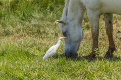 White camargue horses and cattle erget by the lagoon. White camargue horses and cattle egret (Bubulcus ibis) in the lagoon. An ancient breed of horse indigenous Stock Images