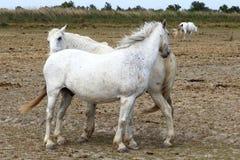 White Camargue horses family in France stock image