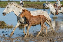 White Camargue Horses with foals run on the water Royalty Free Stock Photos