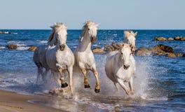 White Camargue Horses galloping along the sea beach. Parc Regional de Camargue. France. Provence. stock photo