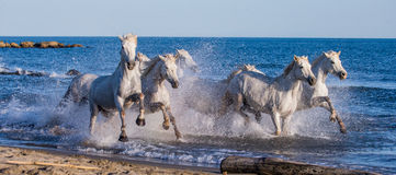 White Camargue Horses galloping along the sea beach. Parc Regional de Camargue. France. Provence. Royalty Free Stock Images