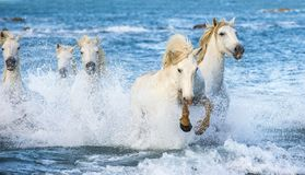 White horses galloping on тне water. White Camargue horses galloping on blue water of the sea. France stock photography