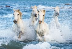 White Camargue horses galloping through blue water Royalty Free Stock Image
