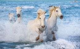 White Camargue horses galloping through blue water. Of the sea with splashes and foam. France stock photos