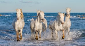 White Camargue horses galloping through blue water. Of the sea with splashes and foam. France stock images