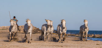 White Camargue Horses galloping on the sand Royalty Free Stock Image