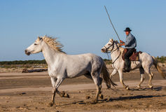 White Camargue Horses galloping on the sand Stock Photo