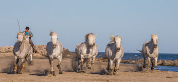 White Camargue Horses galloping on the sand Stock Photography