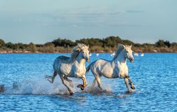 White Camargue Horses galloping on the water. Blue water and sky background stock photography