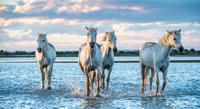 White Camargue Horses galloping on the water royalty free stock images
