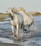 White Camargue Horses galloping through water Stock Photos