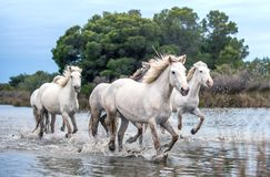 White Camargue Horses galloping through water. Parc Regional de Camargue - Provence, France royalty free stock photos