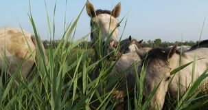 White Camargue horses, Mare with foal, Camargue, France