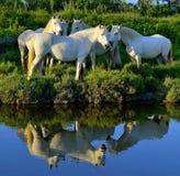 White Camargue Horses Royalty Free Stock Photography