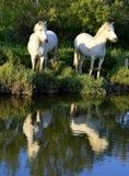 White Camargue Horses Stock Images