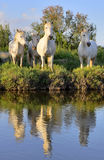 White Camargue Horses Royalty Free Stock Images