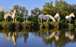 White Camargue Horses Stock Photography