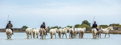 White Camargue Horses . Riders and White horses of Camargue in the water of river. Parc Regional de Camargue . France Stock Photos