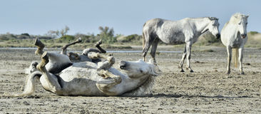 White camargue horses rolls in dust. Royalty Free Stock Photo