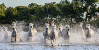 White Camargue Horses run in the swamps nature reserve. Parc Regional de Camargue. France. Provence. Royalty Free Stock Photos
