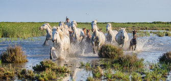White Camargue Horses run in the swamps nature reserve. Parc Regional de Camargue. France. Provence. Royalty Free Stock Images