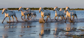 White Camargue Horses run in the swamps nature reserve. Parc Regional de Camargue. France. Provence. Stock Photos