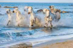 White Camargue Horses running on the blue water in sunset light. Royalty Free Stock Photo