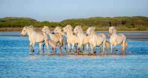 White Camargue Horses running on the blue water in sunset light. Stock Photography