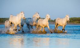 White Camargue Horses running on the blue water in sunset light. Royalty Free Stock Photos