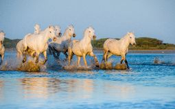 White Camargue Horses running on the blue water in sunset light. Stock Photos