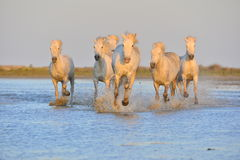 White Camargue Horses running on the blue water in sunset light. Stock Photo