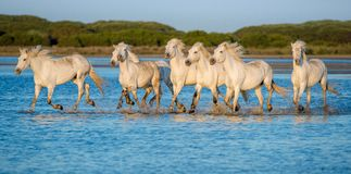 White Camargue Horses running on the water Royalty Free Stock Image