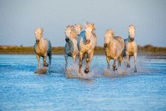 White Camargue Horses running on the water Royalty Free Stock Images