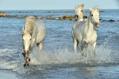 White Camargue Horses running on the water. Herd of White Camargue Horses running on the water . Parc Regional de Camargue - Provence, France Stock Image