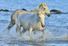 White Camargue horses running through water Royalty Free Stock Photography