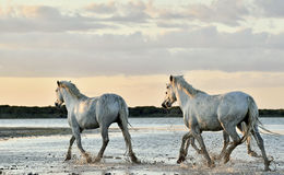 White Camargue horses running through water Royalty Free Stock Images