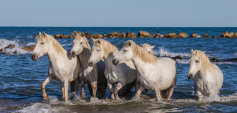 White Camargue Horses are standing on the sea beach. Parc Regional de Camargue. France. Provence. Stock Image