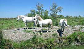White camargue horses Royalty Free Stock Photography