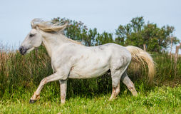 White Camargue Stallion beautiful runs in the paddock. Parc Regional de Camargue. France. Provence. Stock Image