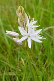 White Camas Flower with Tepals. White Camassia flower blossom with unopened tepals on green blurry background Royalty Free Stock Image