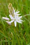 White Camas Flower with Tepals. White Camassia flower blossom with unopened tepals on green blurry background Stock Image