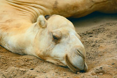 White camel. 's head lying on the ground Royalty Free Stock Photos