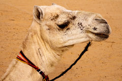 White camel Royalty Free Stock Image
