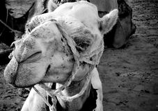 White camel Royalty Free Stock Images
