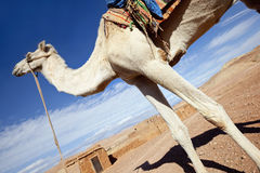 White camel against blue sky. White camel against cloudy blue sky. Concept for adventure holidays Royalty Free Stock Photos
