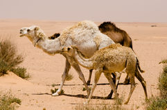 White Camel and Calf Stock Image
