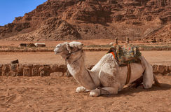 White camel in the desert of Jordan Stock Photography