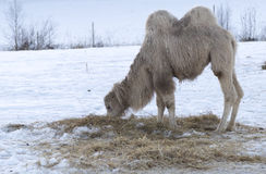 White Camel Eating Grass Royalty Free Stock Photos