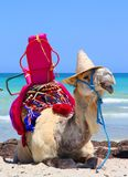 White camel in a fashionable hat royalty free stock photo